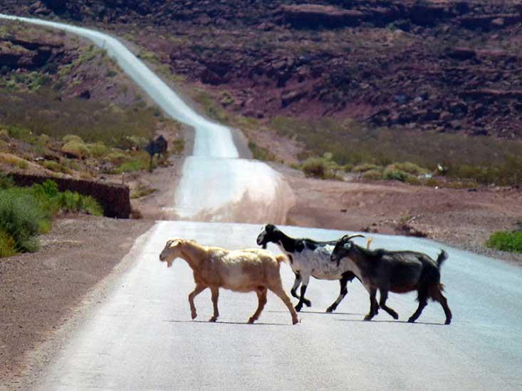Chivos cruzando la ruta 5 camino a Rincón de los Sauces.
