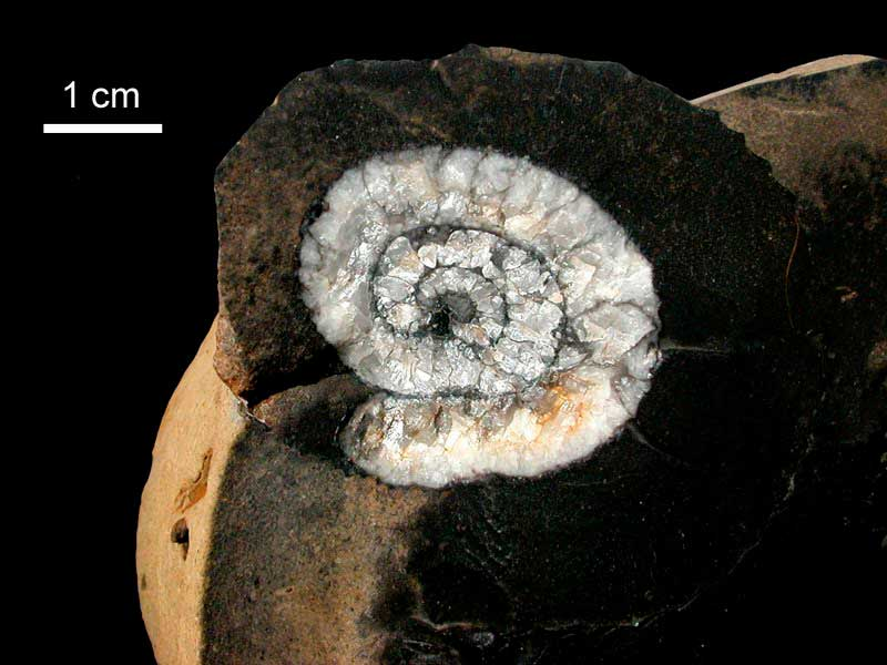 Sección de amonoide cristalizado - Arroyo Chacay Melehue, Neuquén, Formación Los Molles (Jurásico inferior-medio), 175 millones de años.