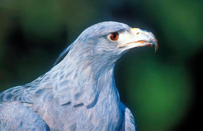 Águila coronad(Harpyhaliaetus coronatus)