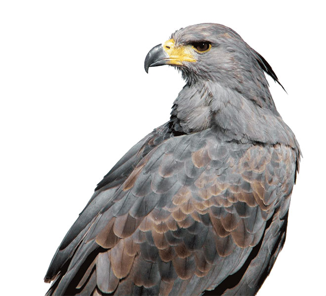 Águila coronada (Harpyhaliaetus coronatus)