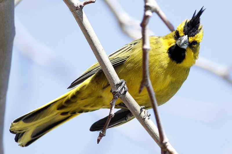Cardenal amarillo (Gubernatrix cristata)