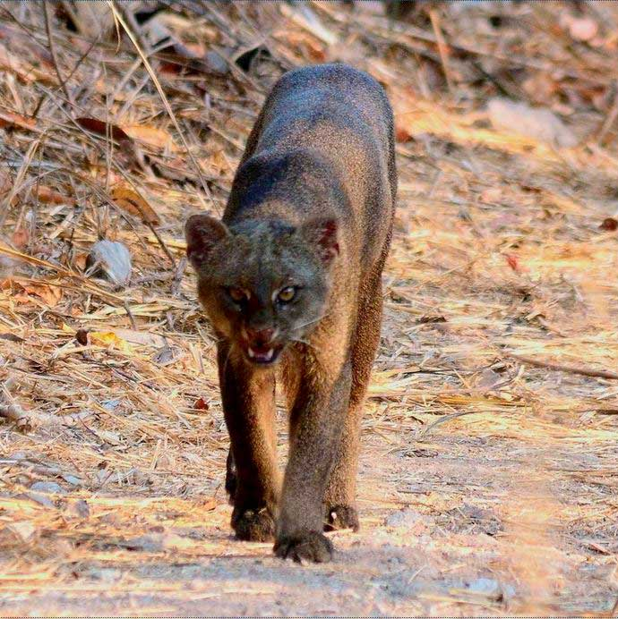 Gato Moro (Puma jaguaroundi)