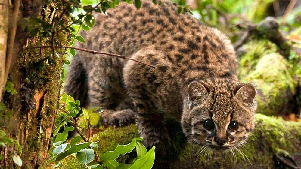 Huiña (Leopardus guigna)