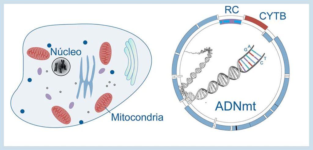 La molécula de ADN mitocondrial