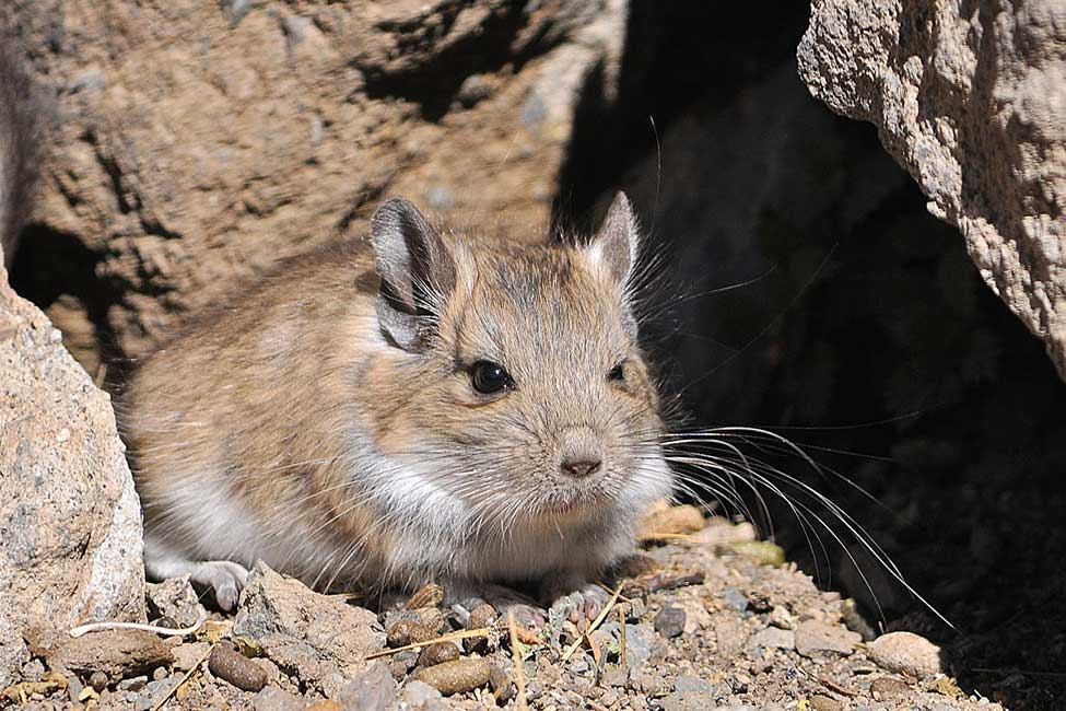 Rata vizcacha roja (Tympanoctomys barrerae)