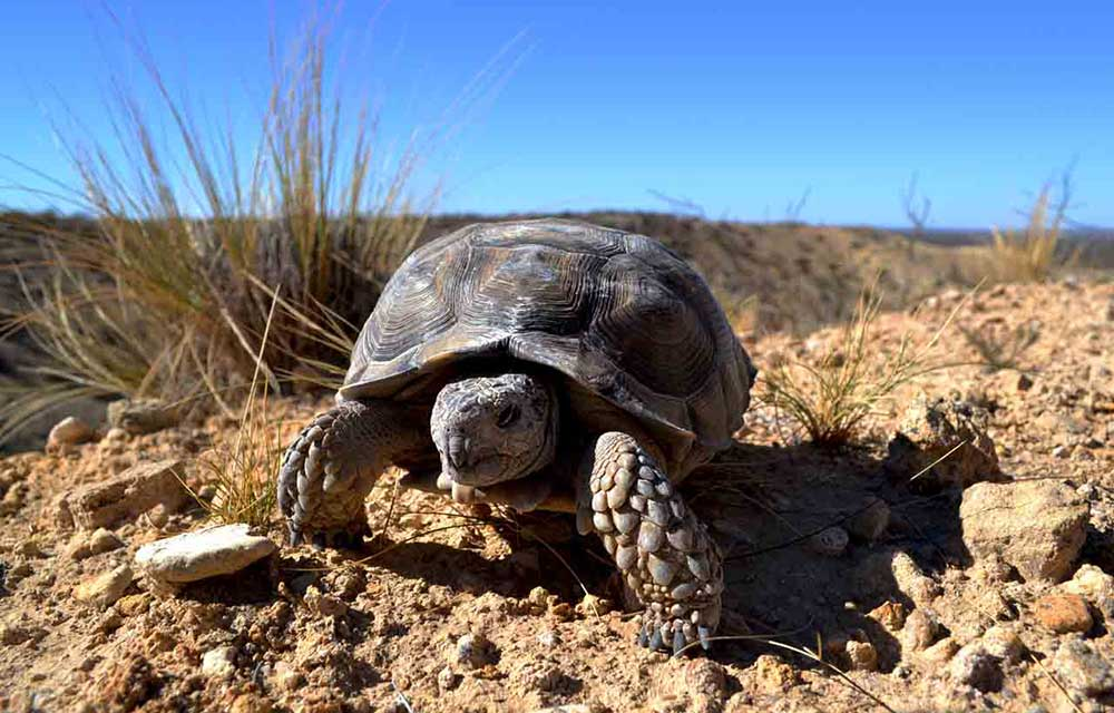 Tortuga terrestre (Chelonoidis chilensis)