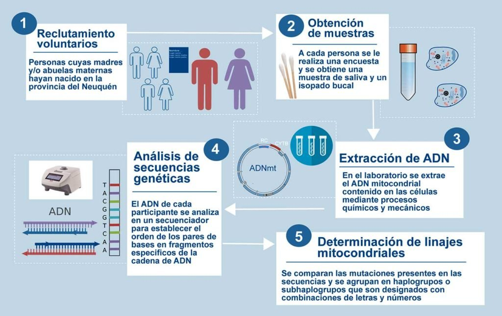 Pasos de la investigación, desde la obtención de la muestra biológica moderna hasta la determinación de las secuencias del ADNmt y su clasificación en linajes.