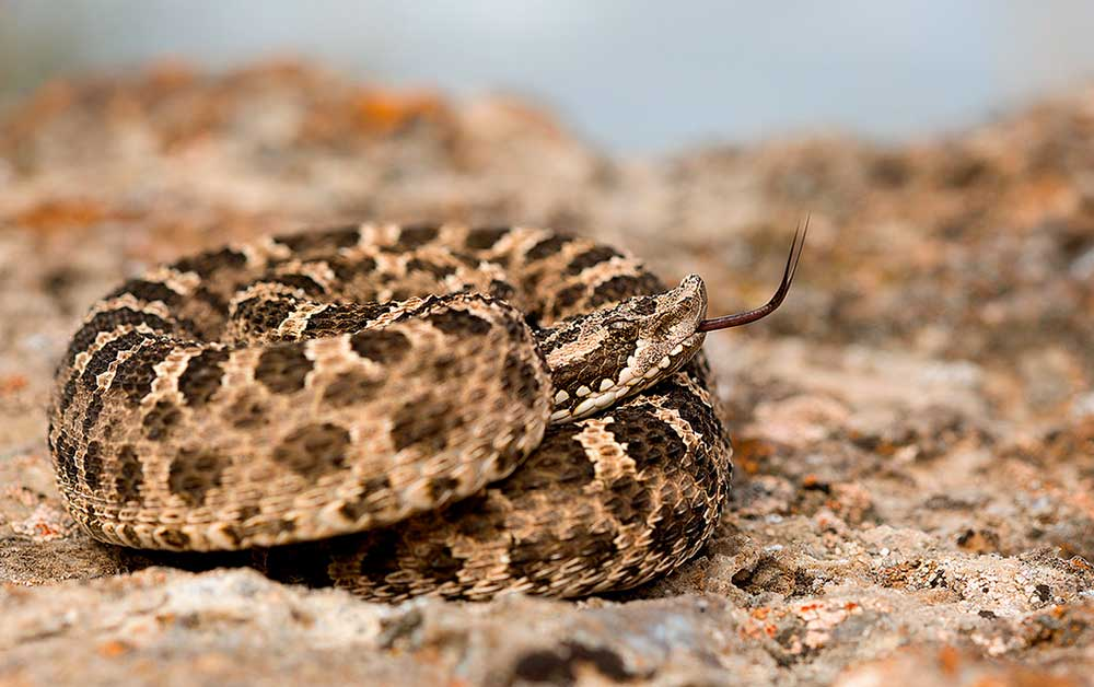 Yarará ñata (Bothrops ommodytoides)