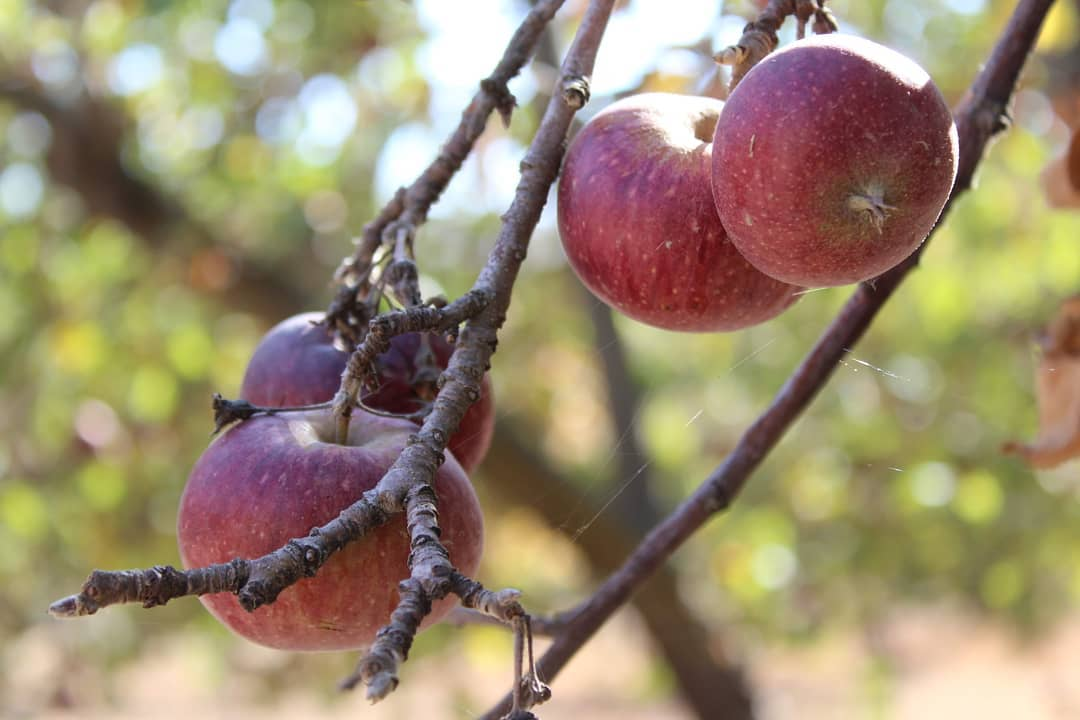Los manzanos del Reñileo