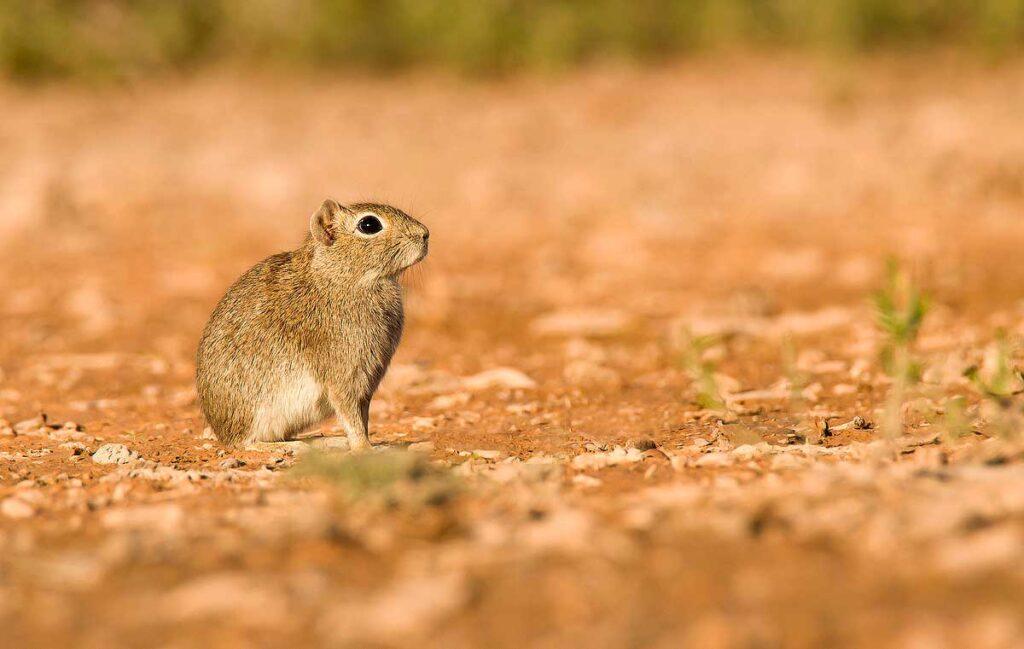 Cuis chico (Microcavia australis)