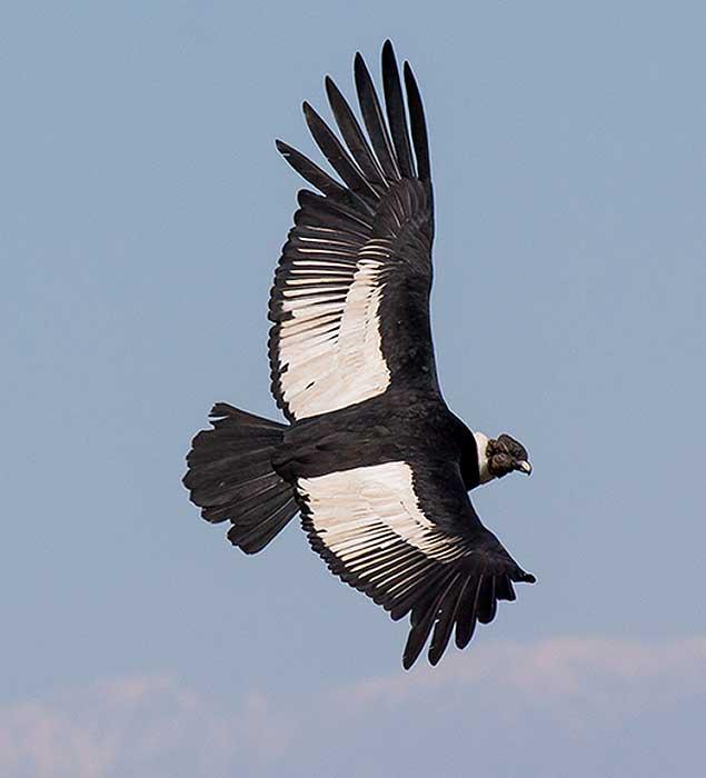 Cóndor (Vultur gryphus)