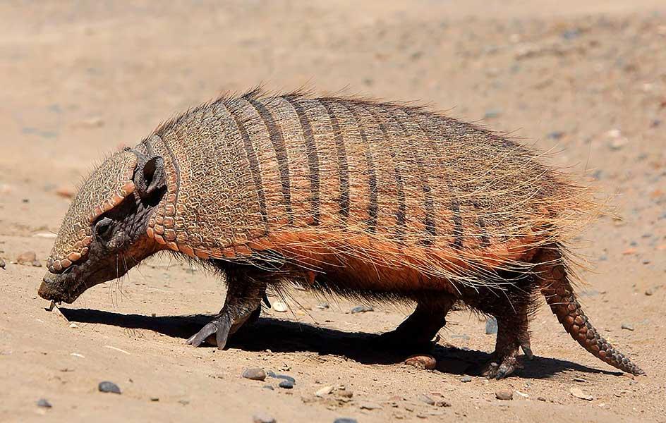 Peludo (Chaetophractus villosus)