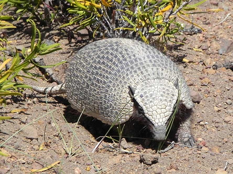 Piche patagónico (Zaedyus pichiy)