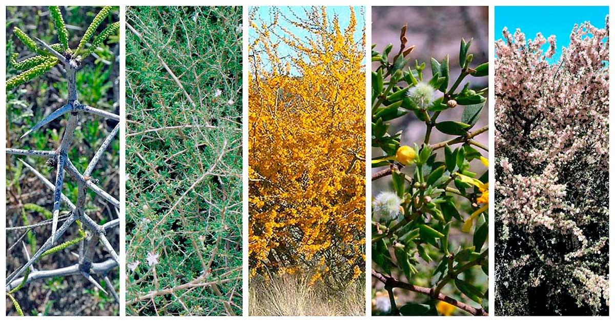 Arbustos de la barda y la estepa neuquina