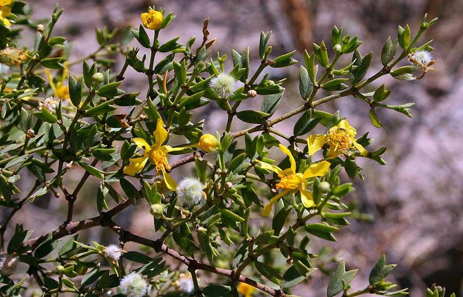 Jarilla macho (Larrea cuneifolia)