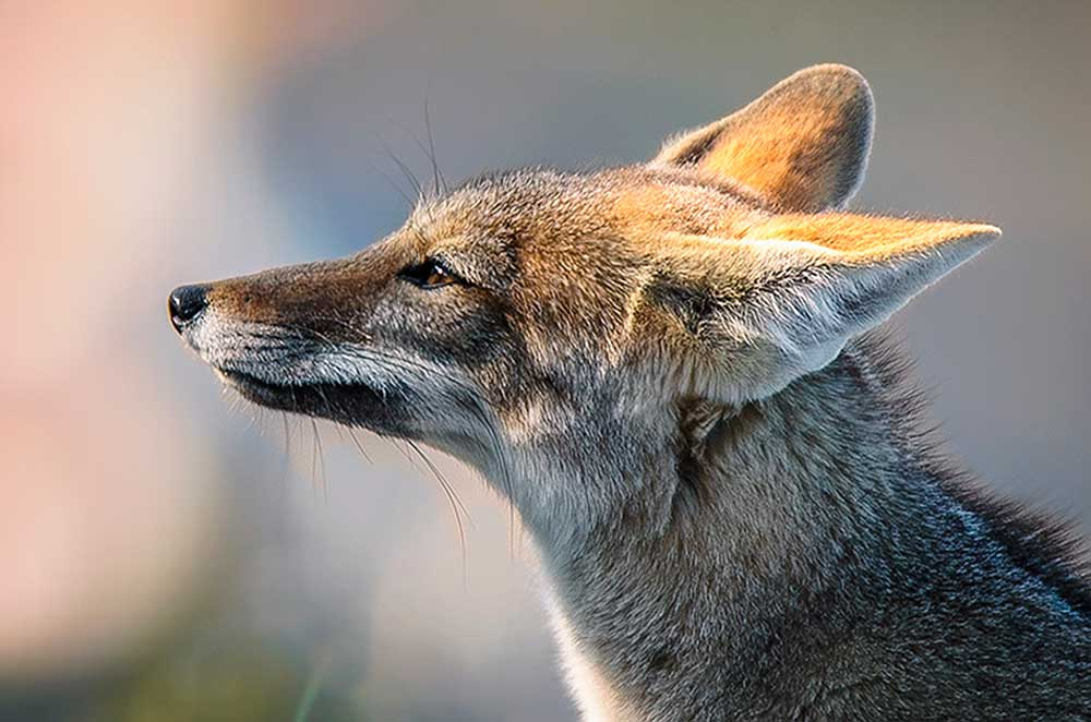 Zorro gris (Lycalopex gymnocercus)
