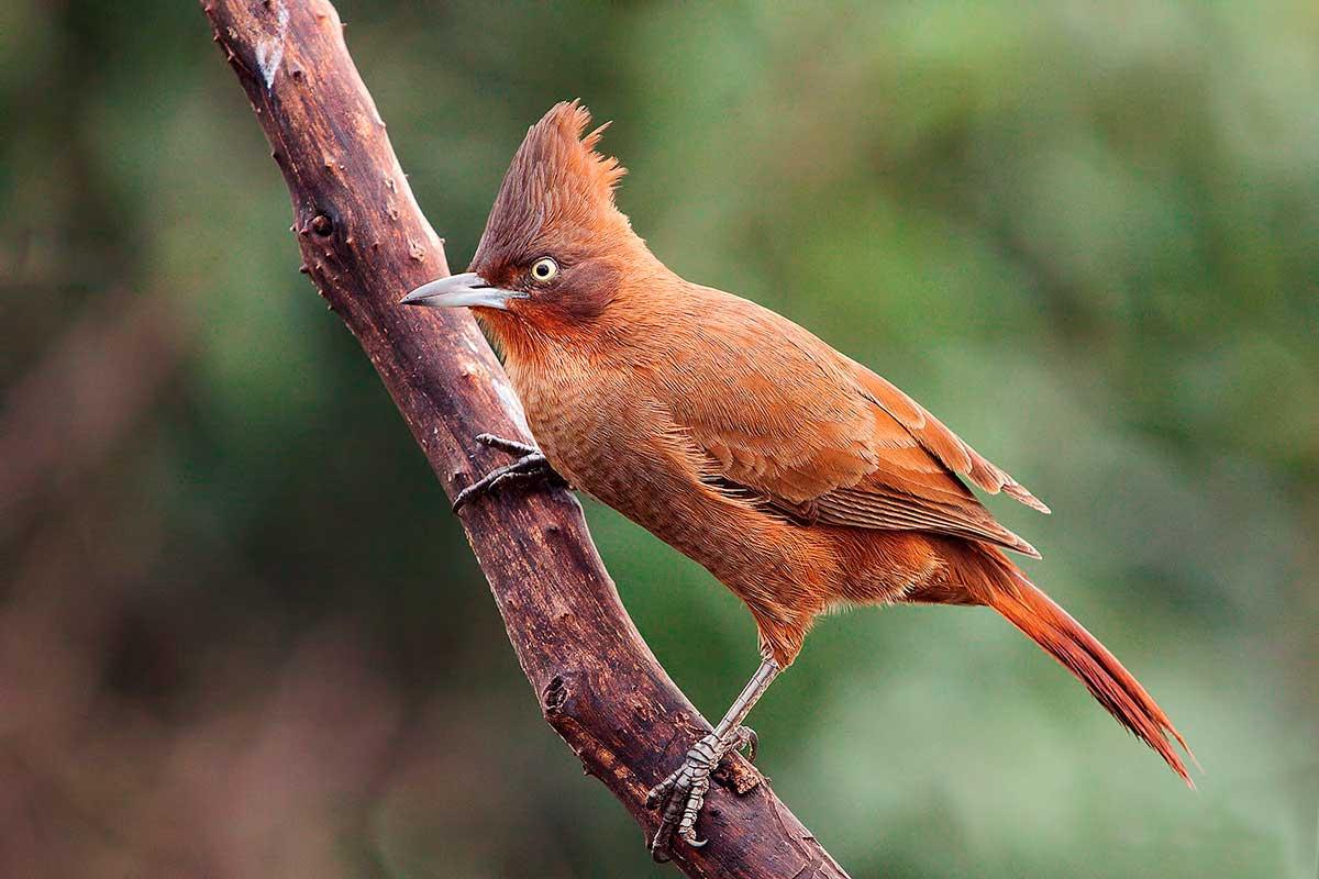 Cacholote castaño (Pseudoseisura lophotes)