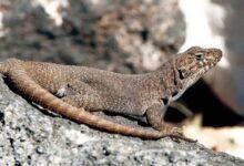 Lagartija de la Payunia (Liolaemus austromendocinus)