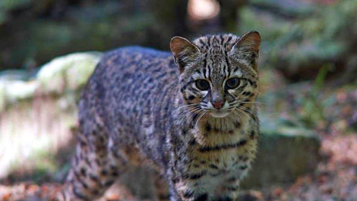 Gato montés (Leopardus geoffroyi)