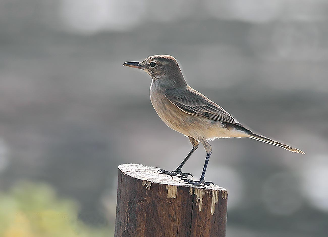 Gaucho común (Agriornis micropterus)