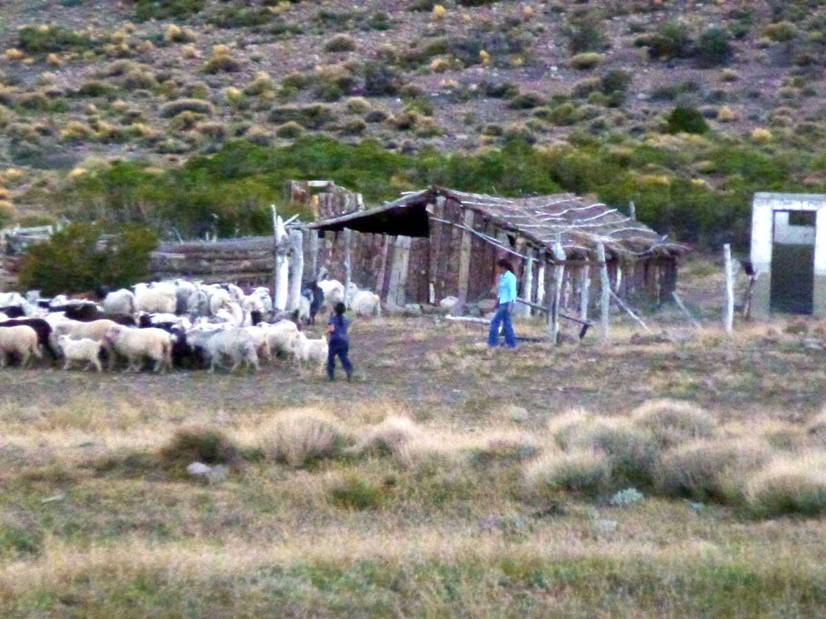 Entrando las chivas al corral