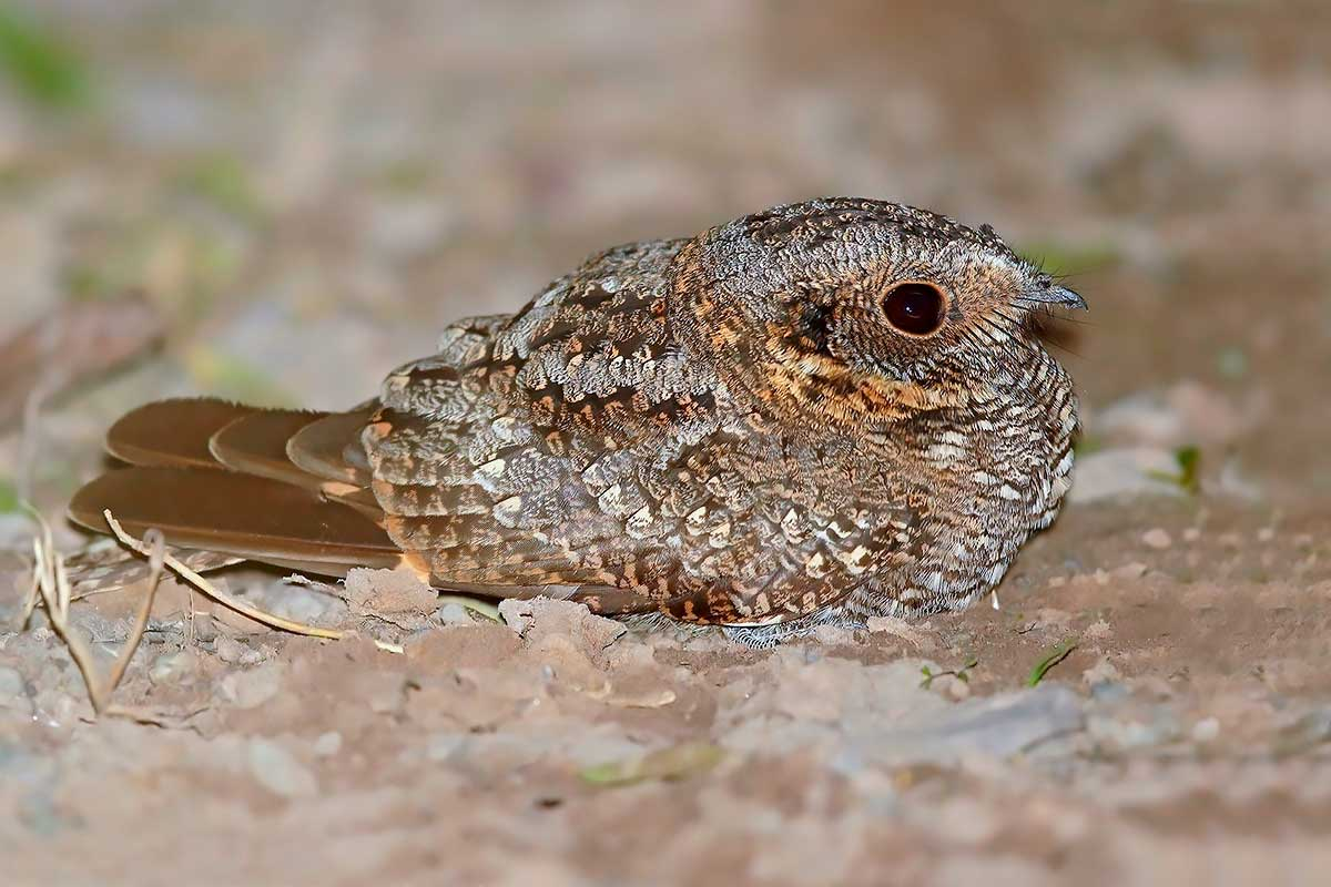 Atajacaminos ñañarcá (Caprimulgus longirostris)